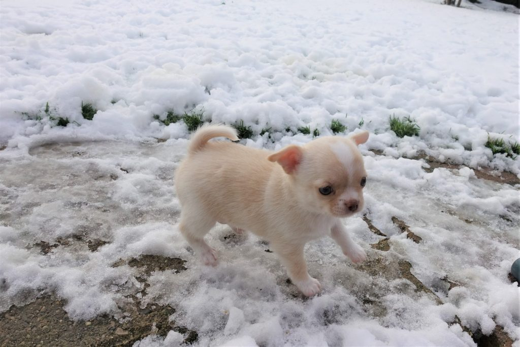 You are currently viewing Le chihuahua et le froid
