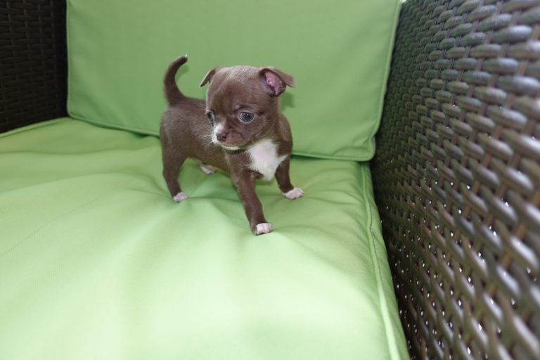 chihuahua elevage, chiot chocolat femelle