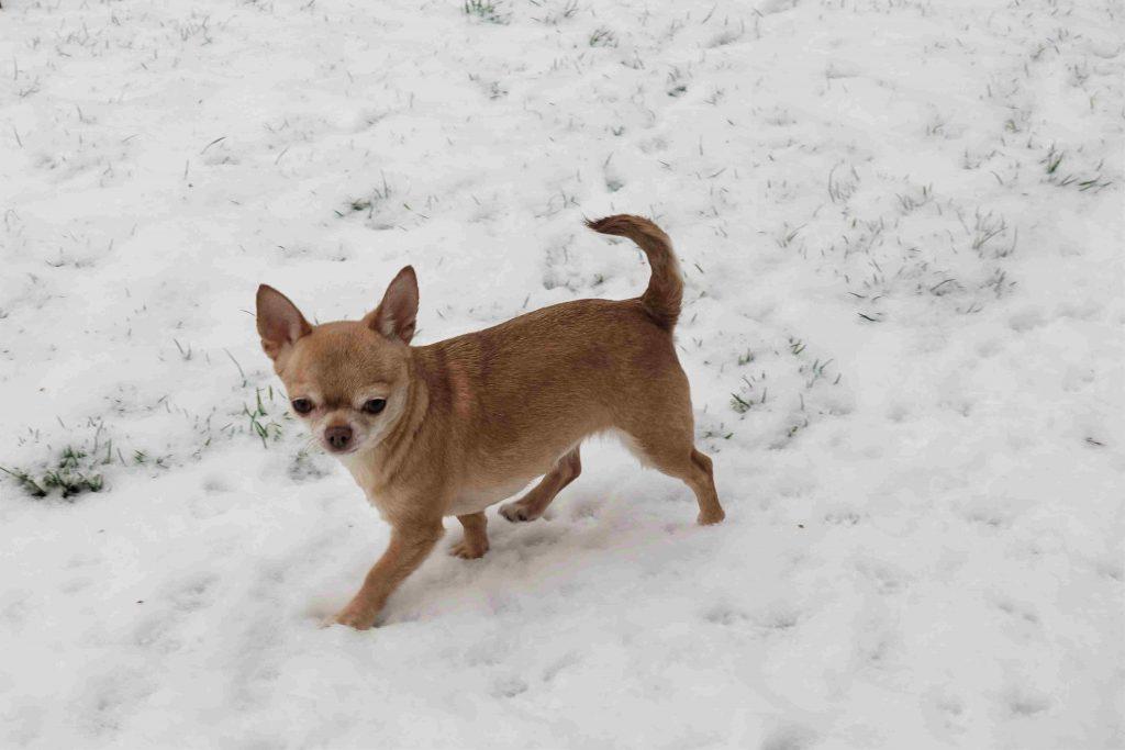 chihuahua jouant dans la neige