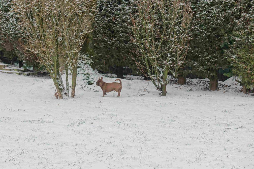 chihuahua dans la neige