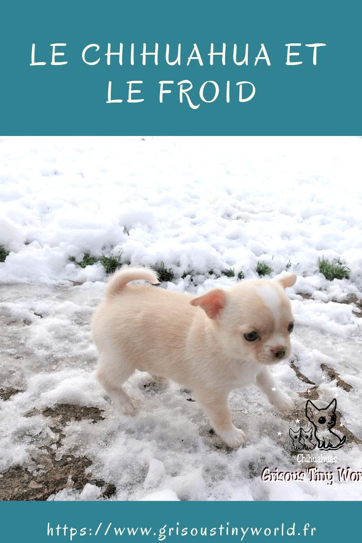 Le Chihuahua et le froid