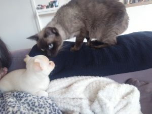Chiot Chihuahua et chat