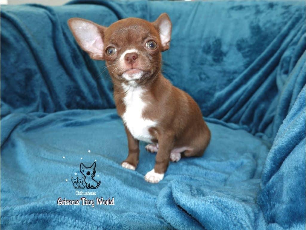 O'Nala, chiot Chihuahua