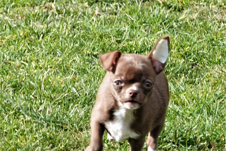 Chihuahua avec une oreille tombante.