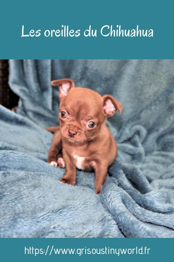 Les oreilles du Chihuahua