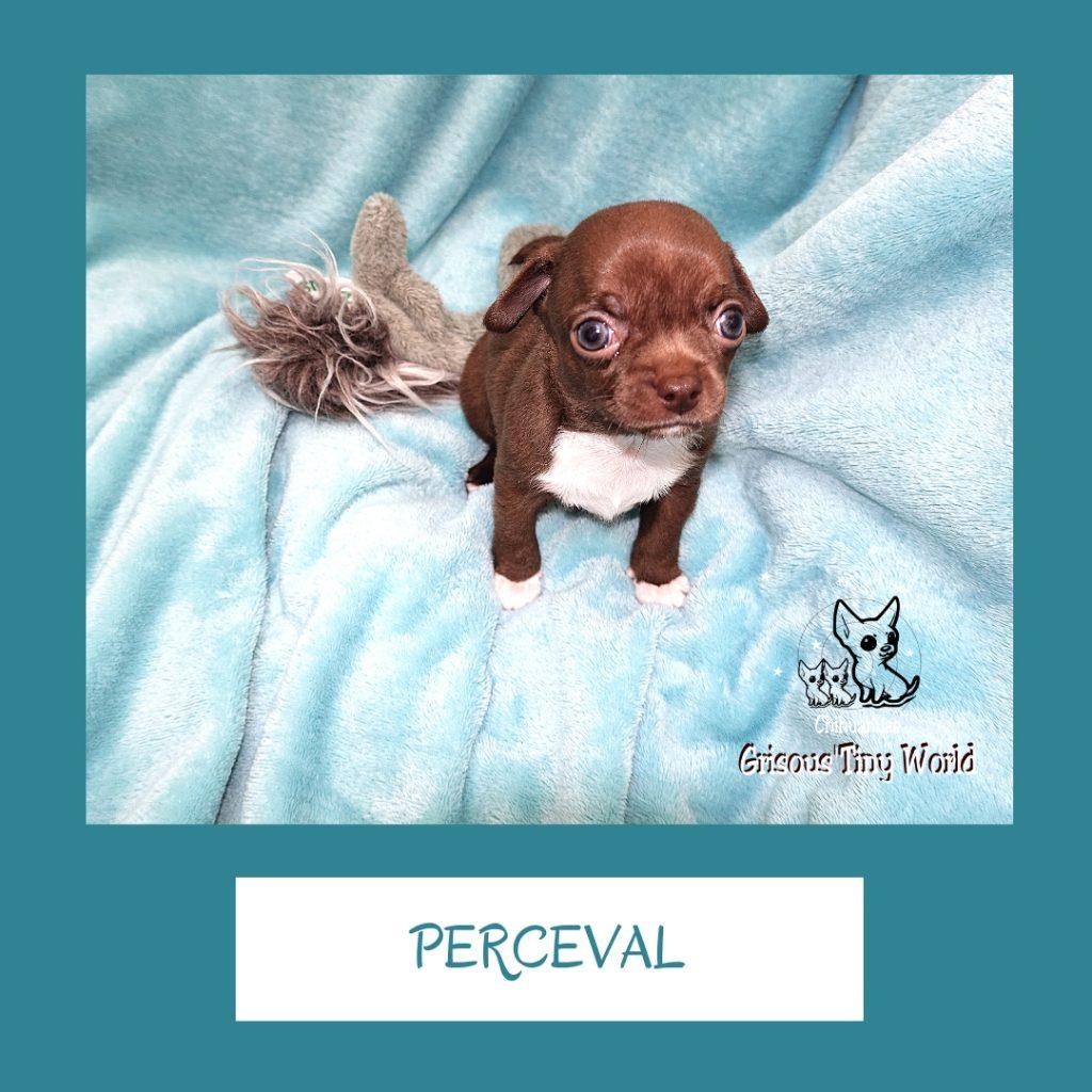 Perceval, chiot Chihuahua