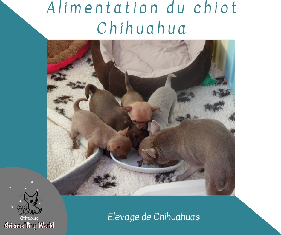 Alimentation du chiot chihuahua