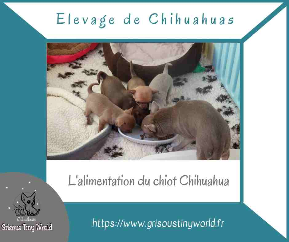 You are currently viewing Alimentation du chiot chihuahua