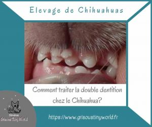 Comment traiter la double dentition chez le Chihuahua?